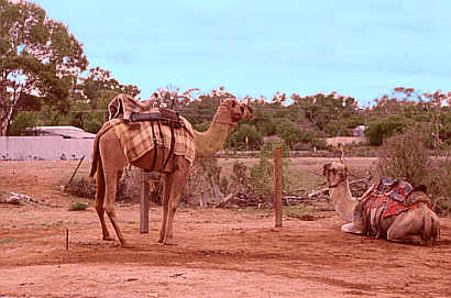Camels in Outback Australia