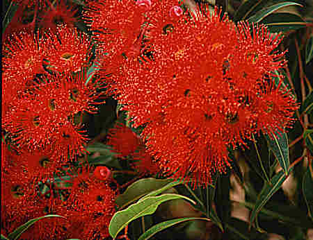 Flowers on native tree named Flowering Red Gum