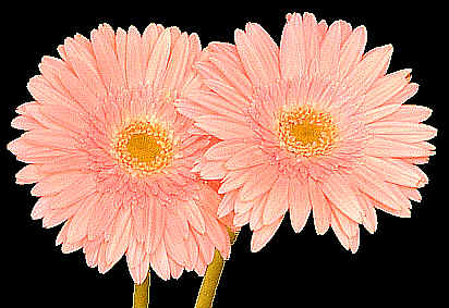 Gerbera also known as South African Daisy